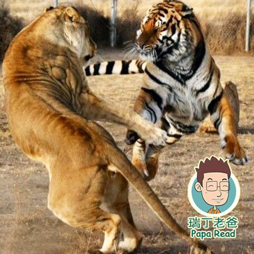 十万个为什么5——老虎和狮子打架谁会赢