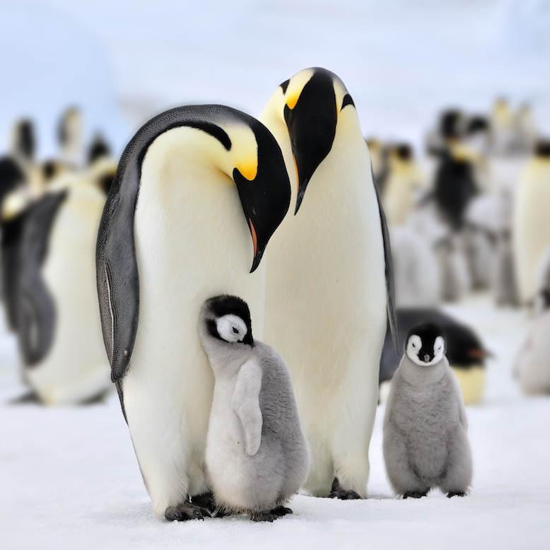 动物 企鹅 778_778
