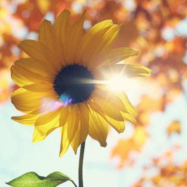 fm480515阳光下的那一株向日葵