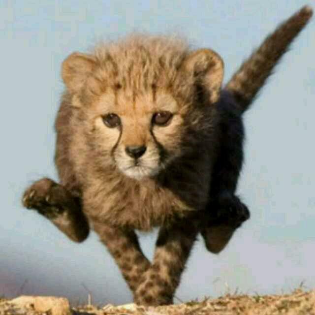 小豹简笔画步骤